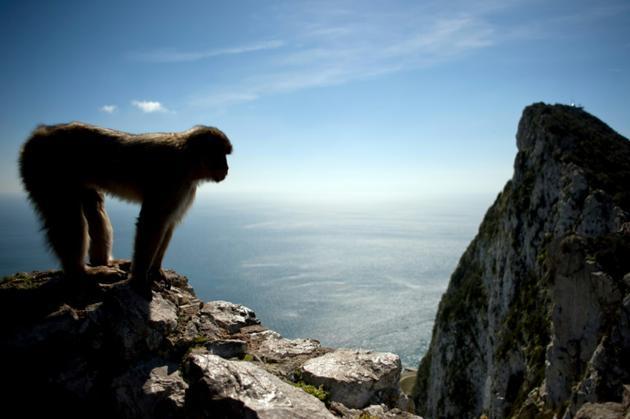 Un macaque sur les hauteurs de Gibraltar, le 17 mars 2016 [JORGE GUERRERO / AFP/Archives]