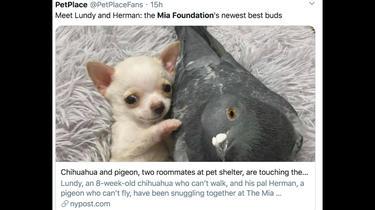 Lundy, le chihuahua, et Herman, le pigeon, sont les meilleurs amis du monde.