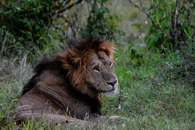 Un lion dans la réserve nationale du Masai Mara au Kenya, le 17 juillet 2020 [TONY KARUMBA / AFP]