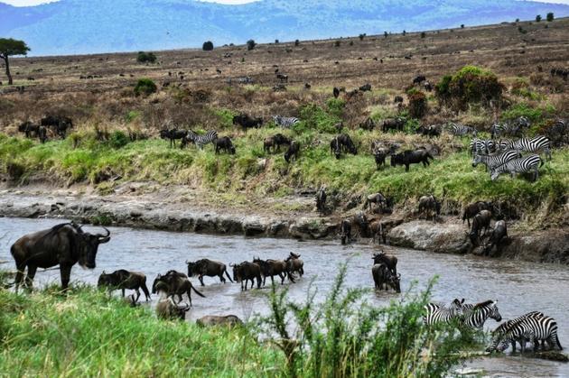 Des troupeaux de gnous et de zèbres, dans le parc national Serengeti (Tanzanie), le 17 juillet 2020 [TONY KARUMBA / AFP]
