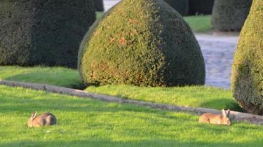 Selon l'association PAZ, «plusieurs dizaines» de lapins de garenne peuplent les pelouses des Invalides.